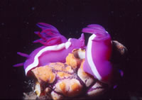 Jeff Dawson nudibranch